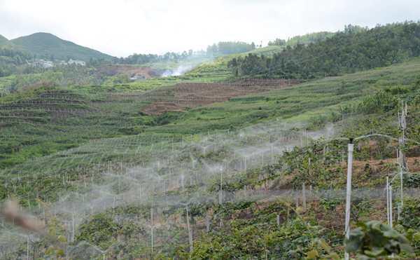 初春猕猴桃果园要不要灌水?不同生理期的需水特点 灌溉的注意事项