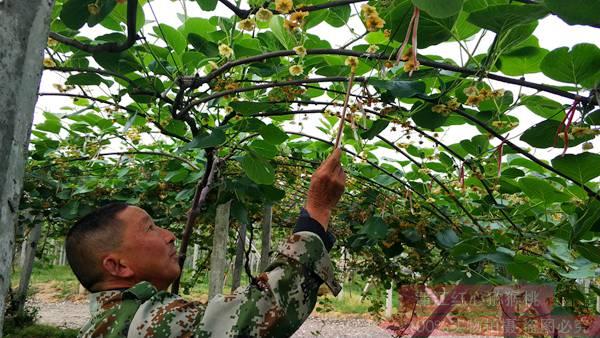 贵州中康农业科技有限公司种植的贵长猕猴桃开始出口泰国和新加坡
