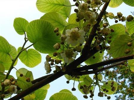 猕猴桃花粉