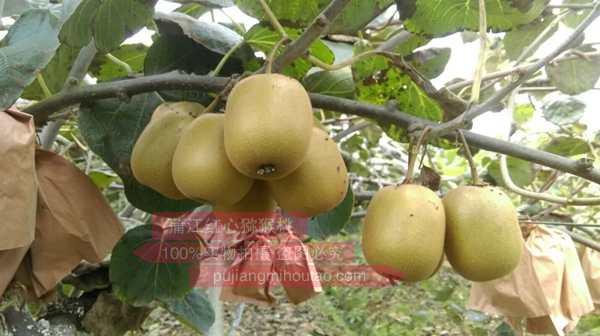 杨氏金红猕猴桃