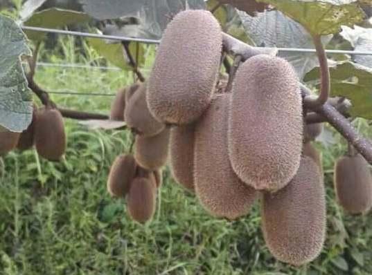贵州贵长猕猴桃