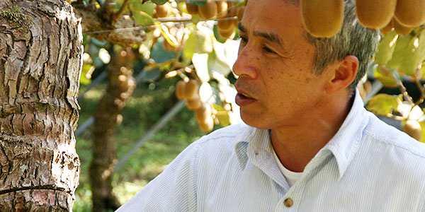 """日本的猕猴桃主要产地正在经受""""猕猴桃溃疡病""""折磨"""