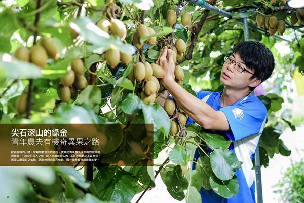 本圖種植的奇異果不輸新西蘭進口的陽光金果 臺灣涂旭帆