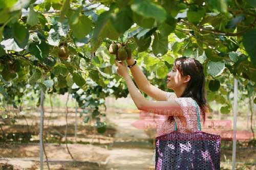 重庆丰都:1200亩猕猴桃成熟等您来采摘