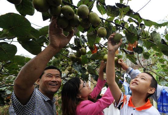 贵州猕猴桃采摘