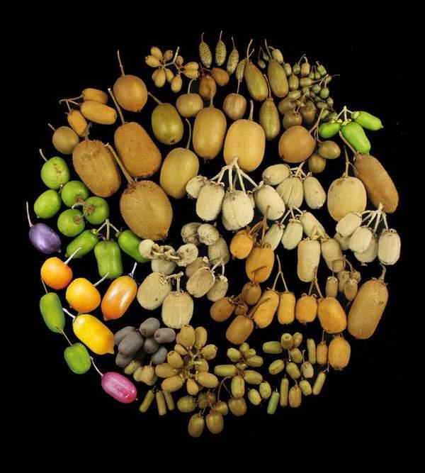 史上最全 多品种猕猴桃介绍 红心猕猴桃 黄心猕猴桃 绿心猕猴桃