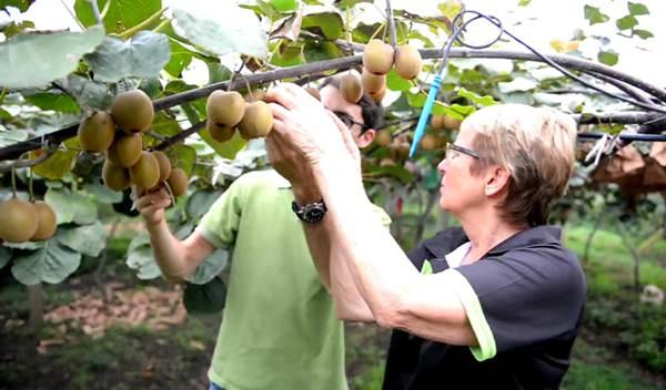 四川為全球最大的紅肉獼猴桃生產基地 中新聯合實驗室領跑紅肉獼猴桃研究