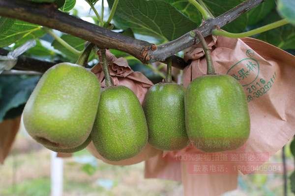 八月份蒲江红心猕猴桃种植者迎来采摘季节