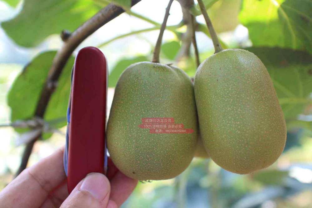 四川德阳种植的红心猕猴桃发往台湾地区