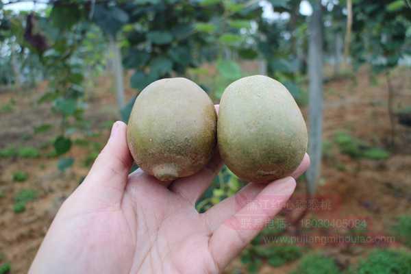 杨氏金红猕猴桃需要等软了吃吗每年的土货