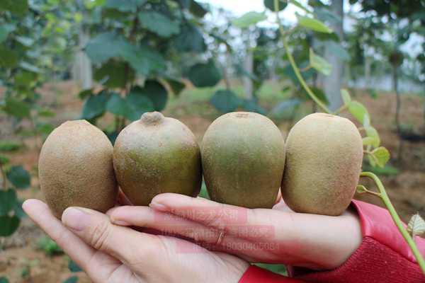 由于贵州标准化进入金红猕猴桃苗木