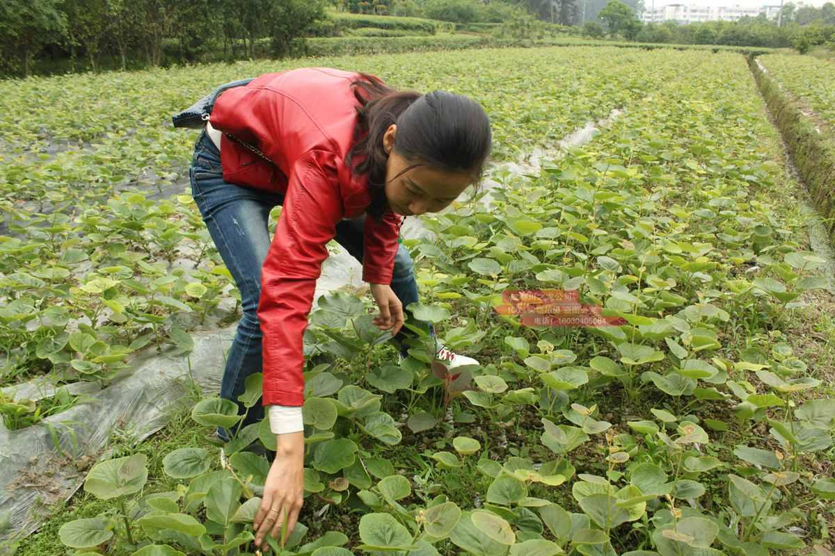 贵州东红猕猴桃苗