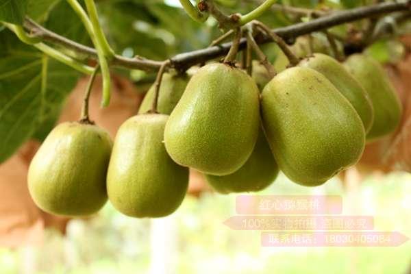 更甜更好吃的高端猕猴桃