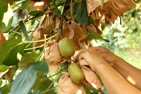 采摘猕猴桃