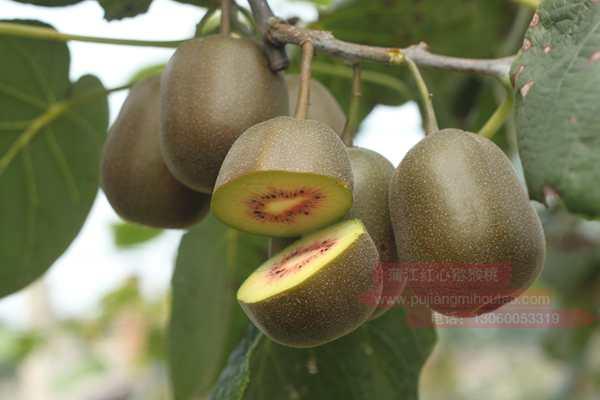 完全成熟的猕猴桃