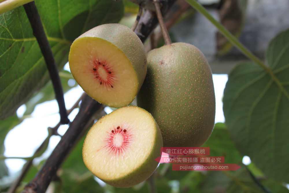 蒲江猕猴桃