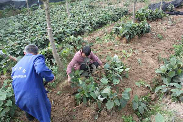 猕猴桃实生苗