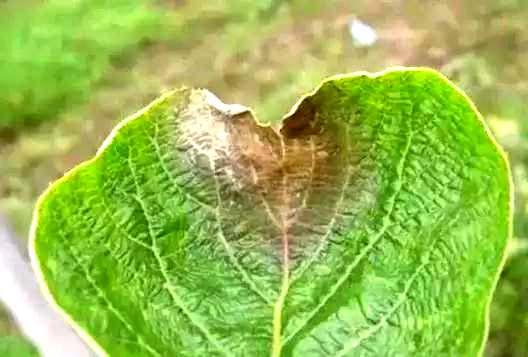 真菌、细菌、病毒病害区分和防治方法