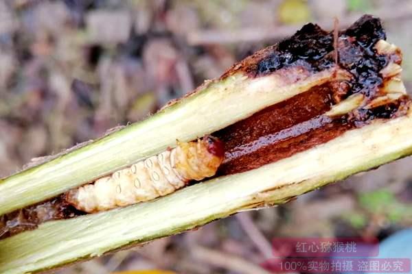 害虫木蠹蛾是白白色主要蛀干害虫,影响甚大,该采用什么方法防治