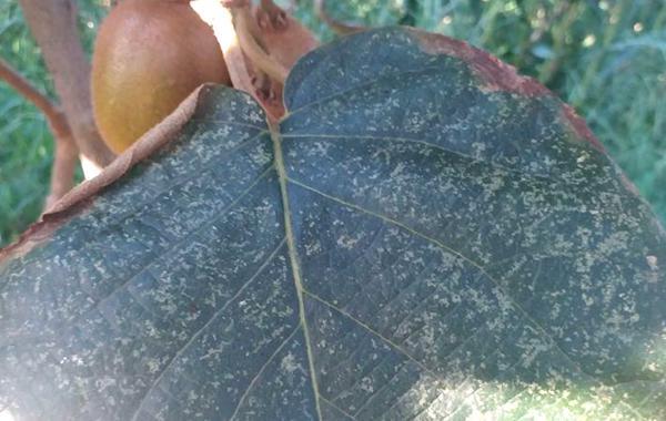 猕猴桃叶蝉