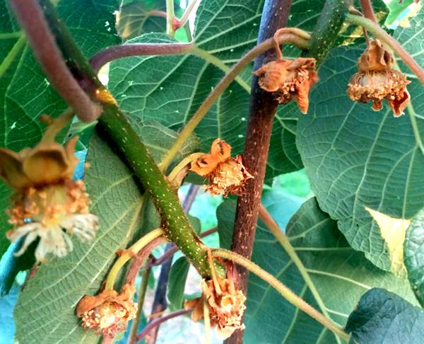 翠香猕猴桃缩花缩果严重 其实的气温骤降低温冻害引起的