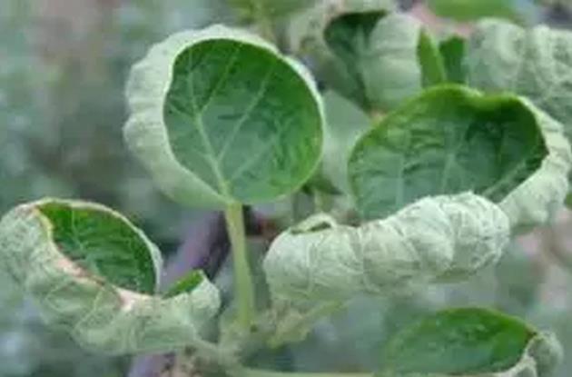 红阳猕猴桃缺钙引发的叶子畸形