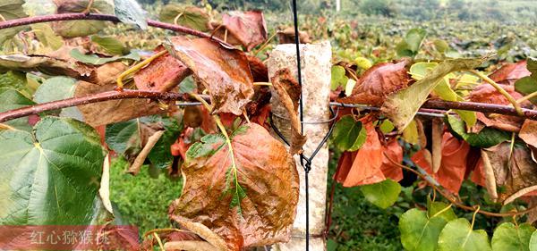 高溫旱灾时节,大雨之后,猕猴桃果园也可能发生明显枯叶问题