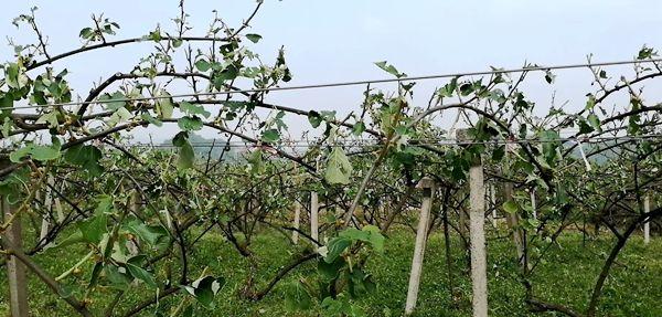 种植猕猴桃也可以买保险了 为贵州猕猴桃产业健康发展保驾护航
