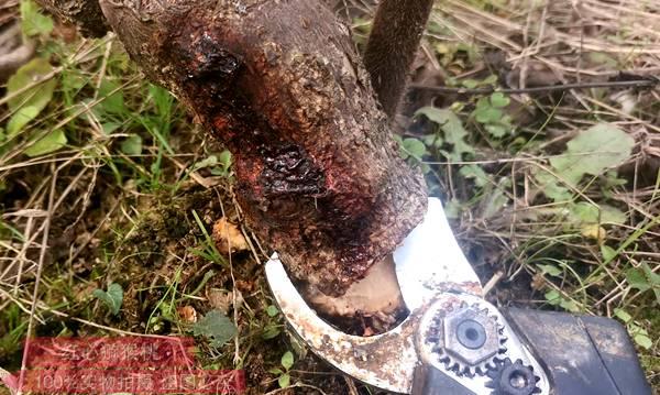 猕猴桃溃疡病防治规程