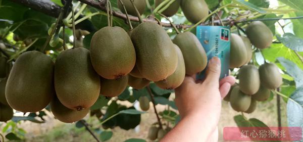 有机红心猕猴桃果园