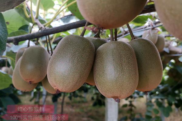 四川东红猕猴桃