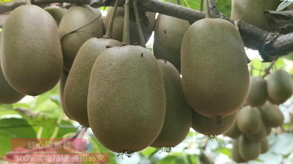 东红猕猴桃批发团购