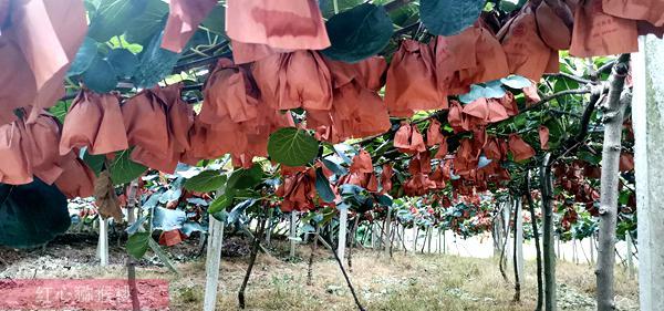 贵州遵义东红猕猴桃