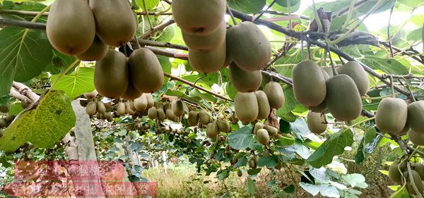 东红猕猴桃邮购多少钱一斤