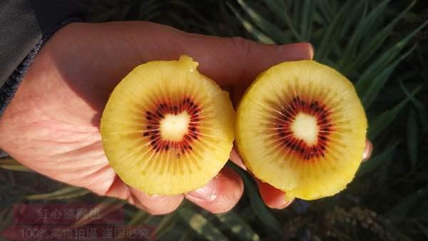 小小有机猕猴桃,让贵州农民生活甜蜜蜜
