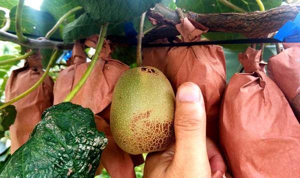 贵州东红猕猴桃