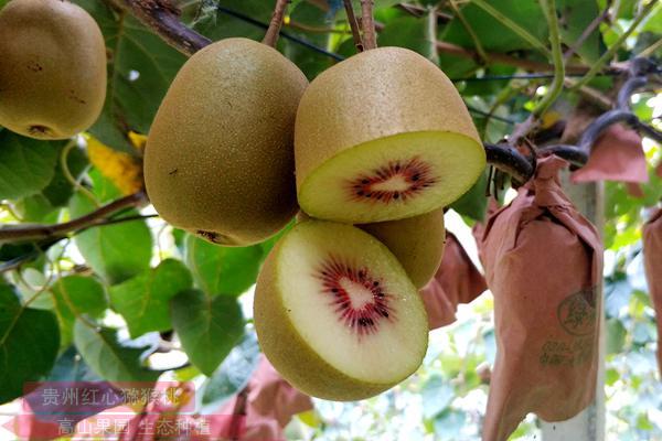 上海网友Ne0撰写的新西兰猕猴桃产业调查报告