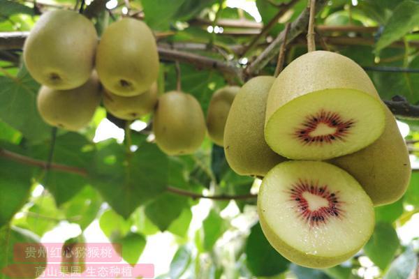 邮储银行贵州六盘水市分行支持水城红心猕猴桃采摘种植项目
