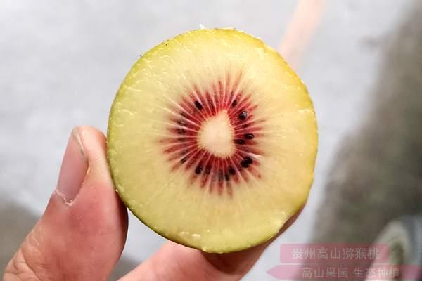 走进云南省曲靖市麒麟区特色水果产业园区 红心白白色已挂满枝头