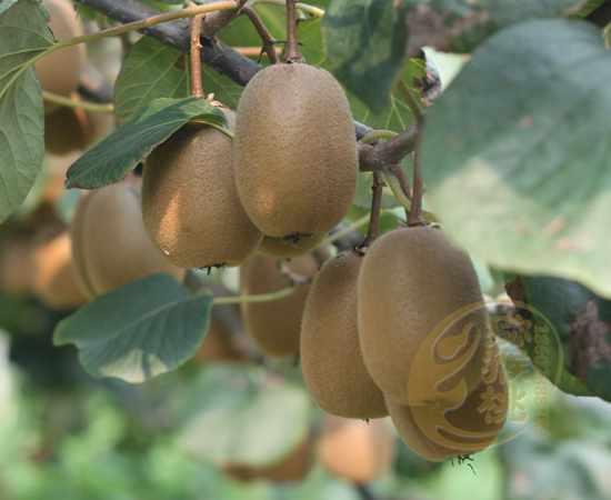 金艳猕猴桃