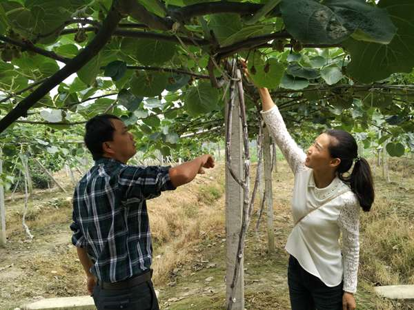 上海青浦的红心猕猴桃开始采摘了