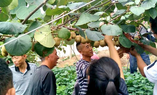 贵州有机红心猕猴桃