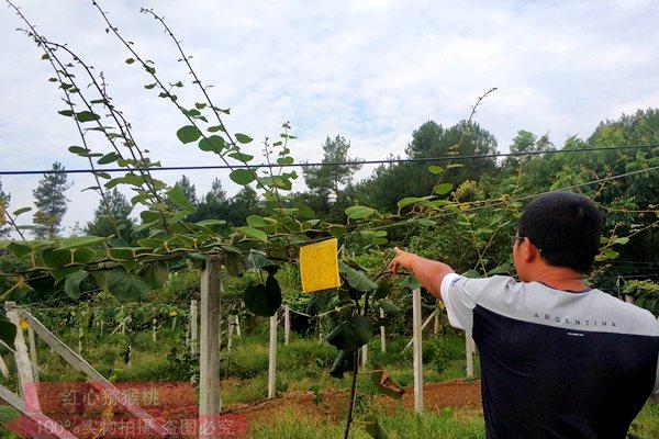 贵州有机猕猴桃种植