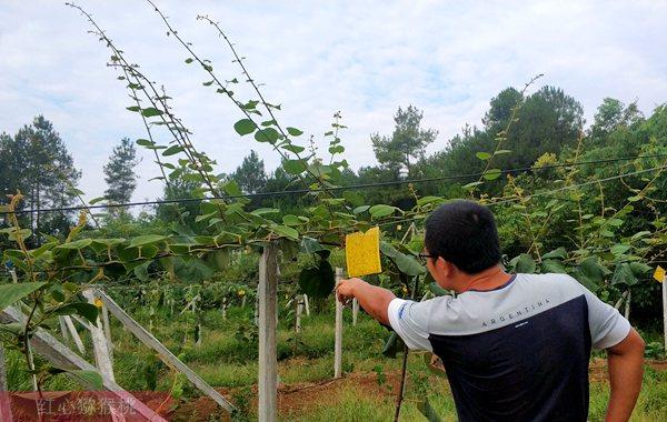 贵州猕猴桃种植果园