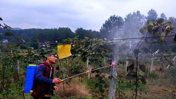 六月份獼猴桃管理總結版夏季(水肥、病蟲害、架面、坐果說全了)作者王西銳