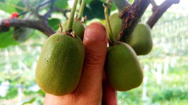 贵州红心猕猴桃