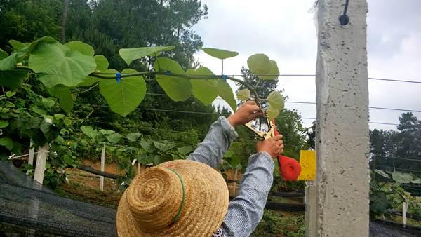 两千株阳光金果有机猕猴桃苗在安徽安庆扎根生长