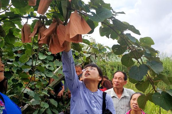 贵州红心猕猴桃采摘