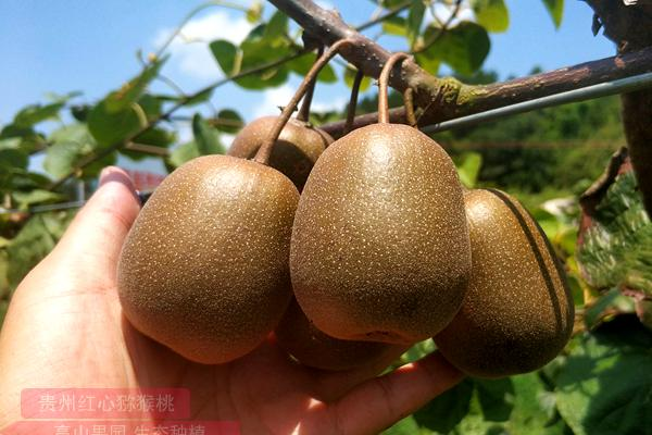 红心猕猴桃种植果园