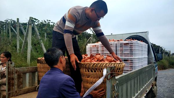 贵州猕猴桃采收